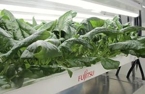 栽培されている高鉄分のホウレンソウ
