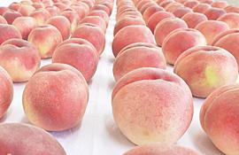 福島県「桃を大増産する!3000㌧増やして30000㌧にするぞ!生産量1位の山梨県をぶっ潰せ!!」