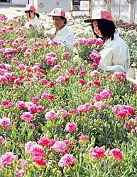 福島明成高、即売会へ準備 「母の日」のカーネーション